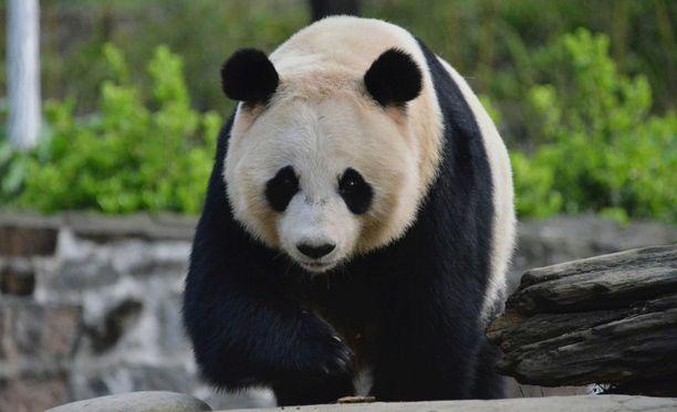 Ähtärin Eläinpuisto on lipun hinnaltaan Euroopan kallein eläinpuisto, jossa on mahdollista nähdä panda. Kuvituskuva,