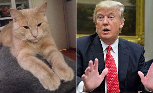 Saimme tämän kissan perheeseemme muutaman kuukauden ikäisenä, nyt se on 8 kk. Pennun piti olla tyttö ja se ristittiin Lilliksi. Jonkun ajan kuluttua kävi ilmiselväksi, että kissa onkin kolli. Uutta nimeä yritettiin keksiä, mutta Lillin nimeä oli vaikea korvata, kunnes huomasimme yhdennäköisyyden presidentiksi tuolloin pyrkimässä olleen Trumpin kanssa. Nykyään kissaa kutsutaan tilanteesta riippuen Lilliksi tai Trumpiksi. Jos se hölmöilee, nimi on automaattisesti Trump. Hellittelynimenä käytetään Lilliä.