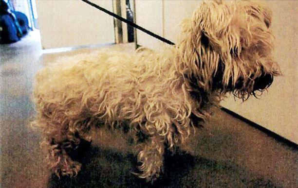 Yliopistolliseen eläinsairaalaan viety likainen koiravanhus oli niin heikossa kunnossa, että sen oli vaikea seistä.