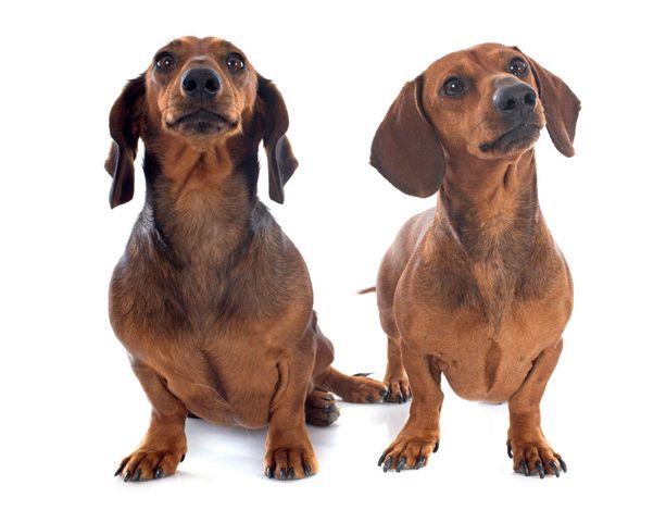 Korvien asento kertoo paljon koiran mielentilasta. Hyväntuulisen koiran korvat ovat eteenpäin, korvien taaksepäin painaminen kertoo yleensä epävarmuudesta.