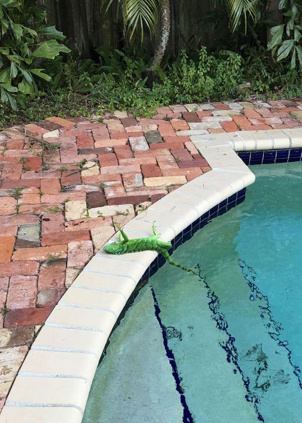 Floridassa viilenneet lämpötilat kangistavat iguaanit, jotka saattavat liikuntakyvyttöminä tippua puista.