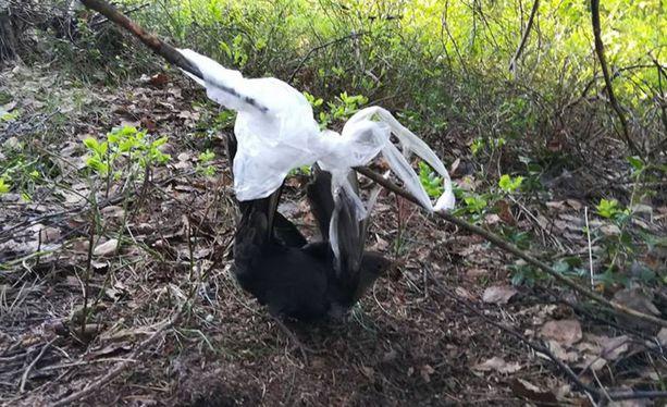 Lintu oli jäänyt jumiin oksassa kiinni olleeseen muovipussiin.