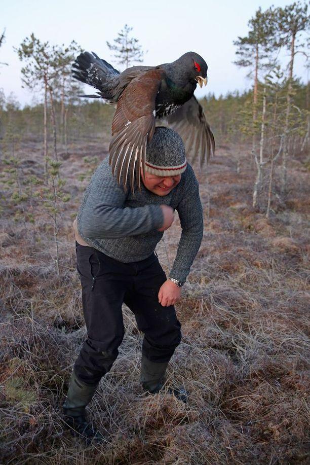 Metsokukko kiipesi Juho Rahkosen harteille Toivakassa Keski-Suomessa.