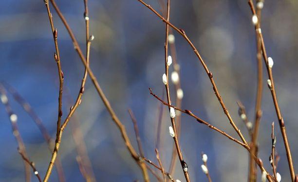 Jos haluaa pääsiäiseksi pajunkissoja maljakkoon, ne on paras leikata ojanpenkan pöheiköstä siististi oksasaksilla.