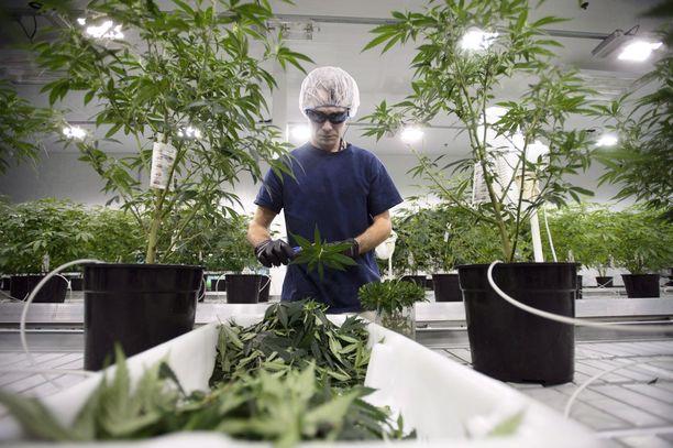 Kannabista käsitellään kanadalaisen Canopy Growth -yhtiön viljelmillä Smiths Fallsissa Ontariossa