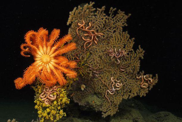 Koralleja on löydetty jopa 6 000 metrin syvyydestä.