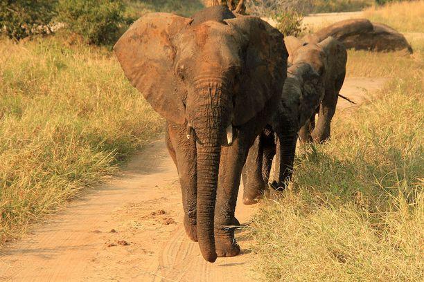 Vihainen norsu tappoi ihmisen Etelä-Afrikassa. Kuvituskuva.
