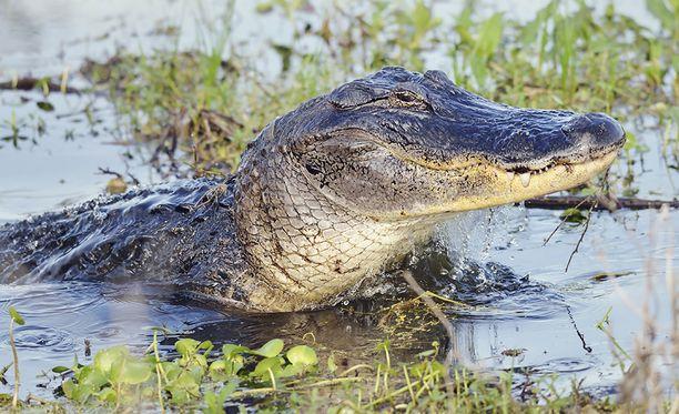 Alligaattorit ovat Floridassa yleisiä.