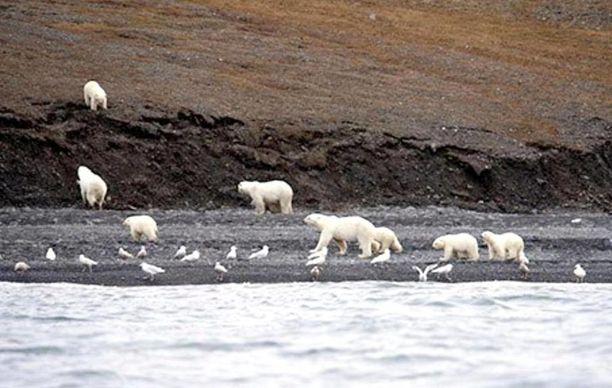Jääkarhuja oli The Siberian Timesin mukaan 230 yksilöä.