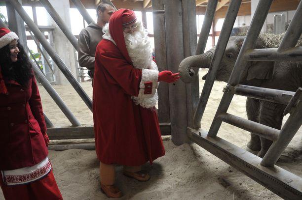 Norsu oli kiinnostunut joulupukista - tai pukin tarjoamasta herkusta.