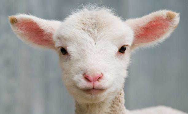 Purkista syömäsi D-vitamiini on todennäköisesti peräisin lampaanvillan lanoliinista.