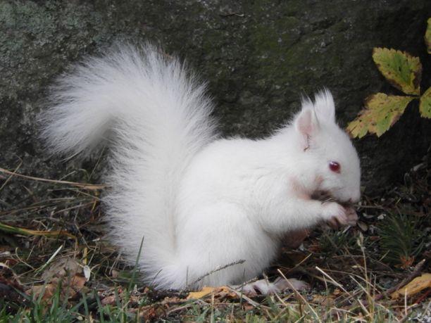Heinäveteläinen Arto Masalin kuvasi albiino-oravaa parina päivänä aiemmin tällä viikolla metsän reunassa sijaitsevalla ruokintapaikalla.