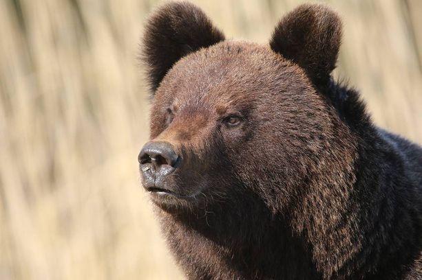 Venäjällä reviteltiin urakalla varusmiehiä piinaneen karhun uutisella. Kuvituskuva.