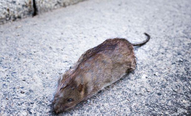 Huonosti hoidetut jätepaikat ja lintujen ruokintapaikat houkuttelevat rottia paikalle, ne saattavat syödä jopa koiran jätöksiä.