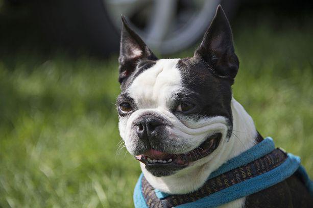 Ilmeikäs Lennu-koira nousi netti-ilmiöksi, kun Presidenttiparin lemmikistä kirjoitettiin suositulla Mashable-sivustolla.
