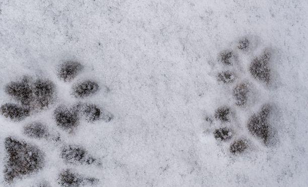 Lumisessa metsässä koiraansa käyttämässä ollut sivullinen löytyi jäätyneen koiranpennun. Kuvituskuva.