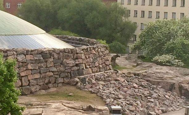 Torstaina Helsinkiin eksynyt nuori hirvi loukkaantui hypättyään pankin ikkunan läpi Töölössä.