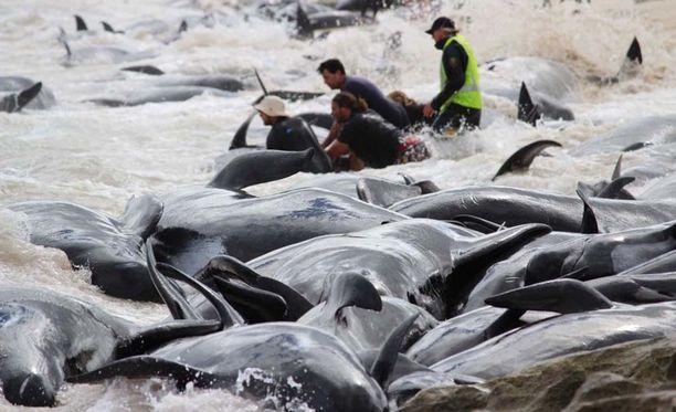 Hengissä olevia valaita yritetään saada takaisin mereen. Se ei ole helppoa, täysikasvuinen eläin painaa noin kolme tonnia.