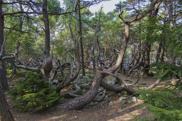 Trollskogenin luonnonsuojelualueelta löytyy erikoisten puiden lisäksi myös öölantilaisia lintu- ja kasviharvinaisuuksia.