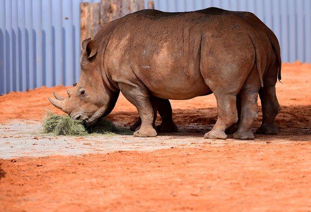 Prinssi Harrylla on rooli sarvikuonojen suojelussa Botswanassa.