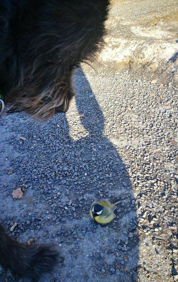 Kuvassa Rontin aiempi kohtaaminen tiaisenpoikasen kanssa. Omistajan mukaan maahan pudonnut lintu virkosi Rontin hellästä nuolaisusta.