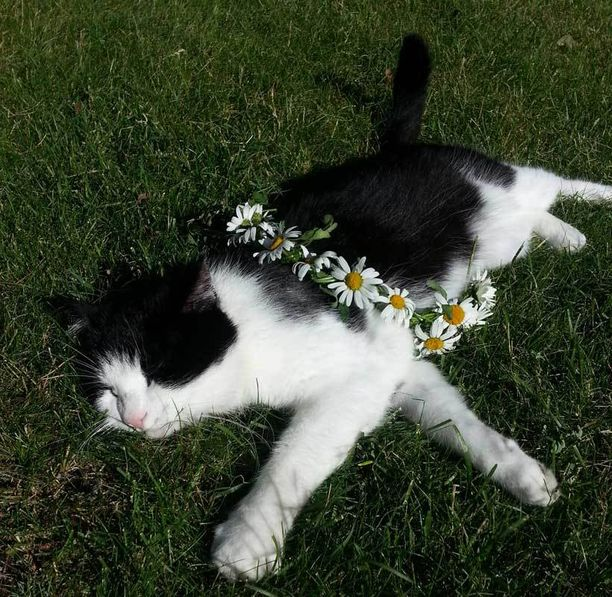 Kissaherra Nano nautti juhannusaaton auringosta.