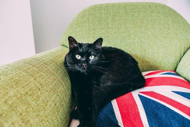 Mustat kissat ovat yliedustettuina Iso-Britannian eläinsuojeluyhdistyksissä.