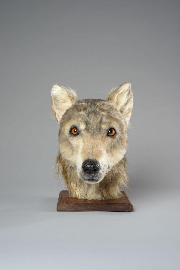 4500 vuotta sitten elänyt koira oli skotlanninpaimenkoiran kokoinen ja se muistutti piirteiltään eurooppalaista harmaasutta.