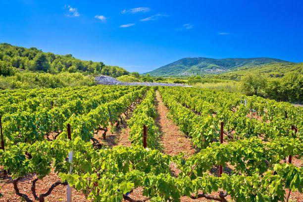 Visin punainen maaperä on otollinen kasvualusta viiniköynnöksille.