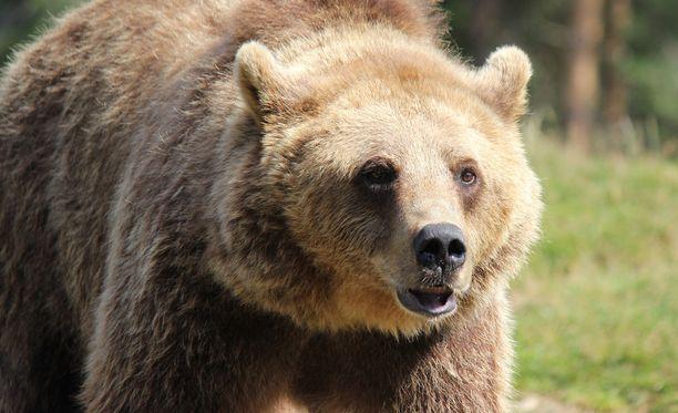 Pentujaan suojelevat karhuemot ovat todella vaarallisia. Kuvituskuva.