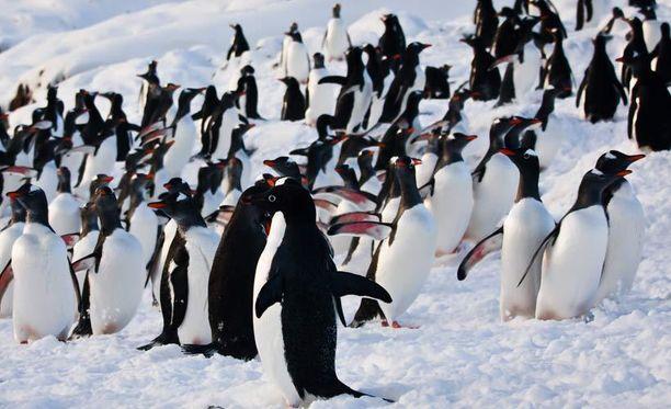 Pingviinien seksielämä oli sata vuotta sitten tutkijoiden mielestä liian sopimatonta.