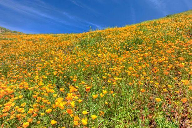 Kukat muodostavat monin paikoin maan peittävän maton.