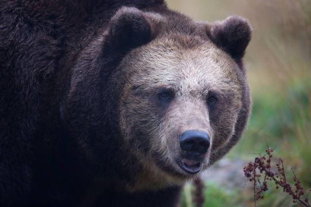 Karhu aiheutti kauhunhetkiä Vuosangan loppusodassa. Kuvituskuva.