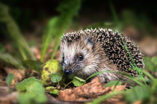 Pihalle voi laittaa matalareunaisia vesikulhoja siilejä ja muita janoisia pieniä eläimiä varten.