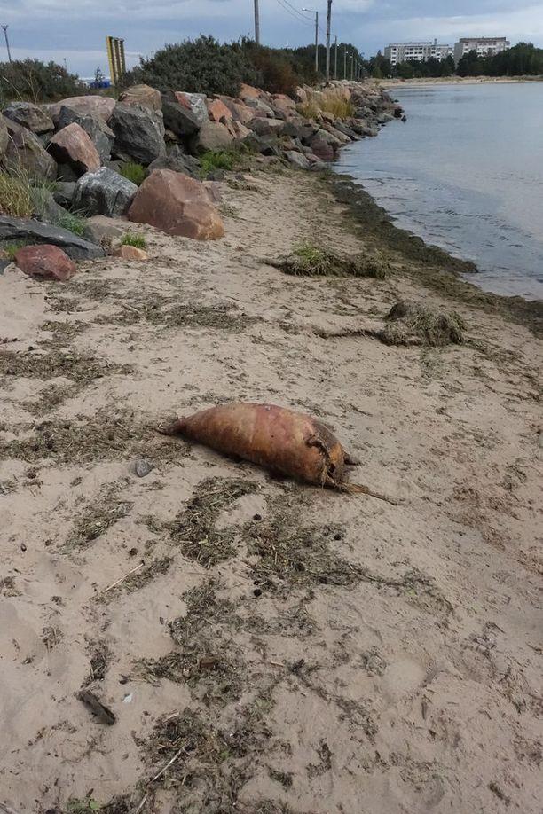 Hylje ajautui rantaan Kalloon johtavan pengertien kohdalla.