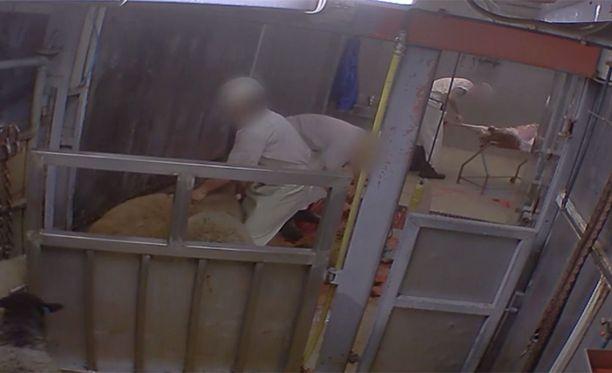 Oikeutta eläimille -järjestö kuvasi salaa teuraseläinten julman kohtelun.