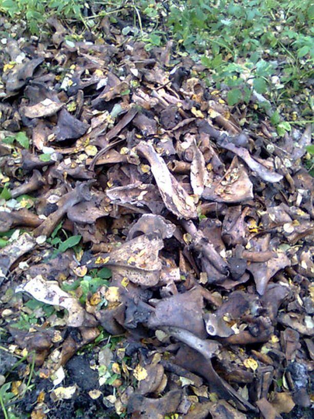 Painiityn läheisestä metsästä löytyi kasa pressulla peitettyjä eläimen luita.