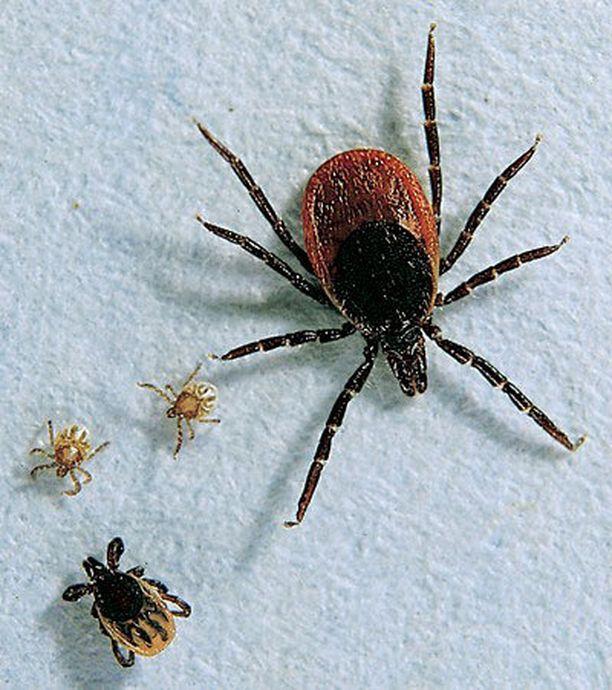 Punkki kehittyy toukasta nymfivaiheen kautta aikuiseksi.