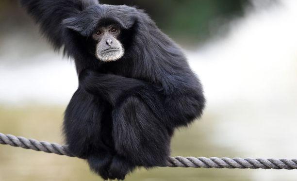 Siamanki-apina on erittäin uhanalainen. Tämä yksilö asuu eläintarhassa.