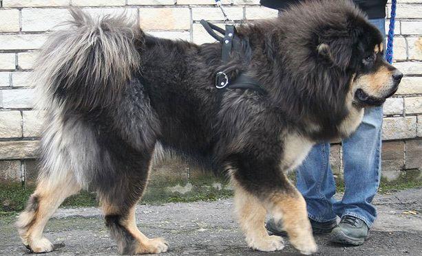 Tuuheaturkkiset tiibetinmastiffit ovat vahti- ja seurakoiria.