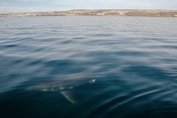 Älypoijujen sensorit havaitsevat yli kahden metrin mittaiset hait niiden uitua 500 metrin etäisyydelle.