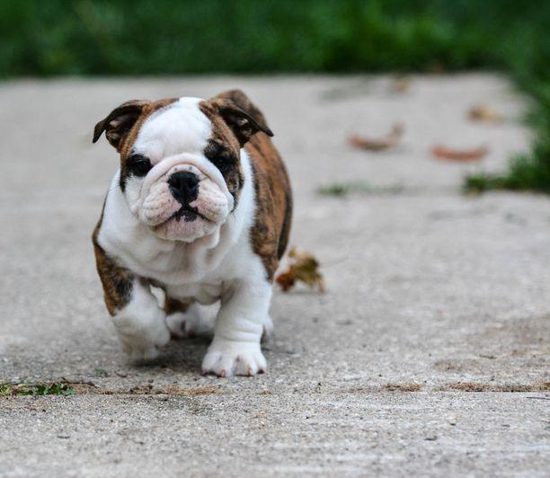 Englanninbulldoggin pentu. Hengitysvaikeudet ovat lyhytkuonoisen, pitkälle jalostetun rodun ikävä ominaisuus.