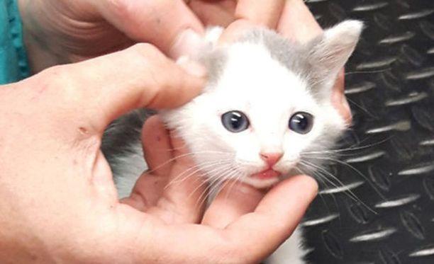 Tellervo-pennun tarina sai onnellisen lopun, mutta yksi kissanpennuista löytyi aiemmin kuolleena ja toista etsitään vielä sunnuntain ja maanantain välisenä yönä.