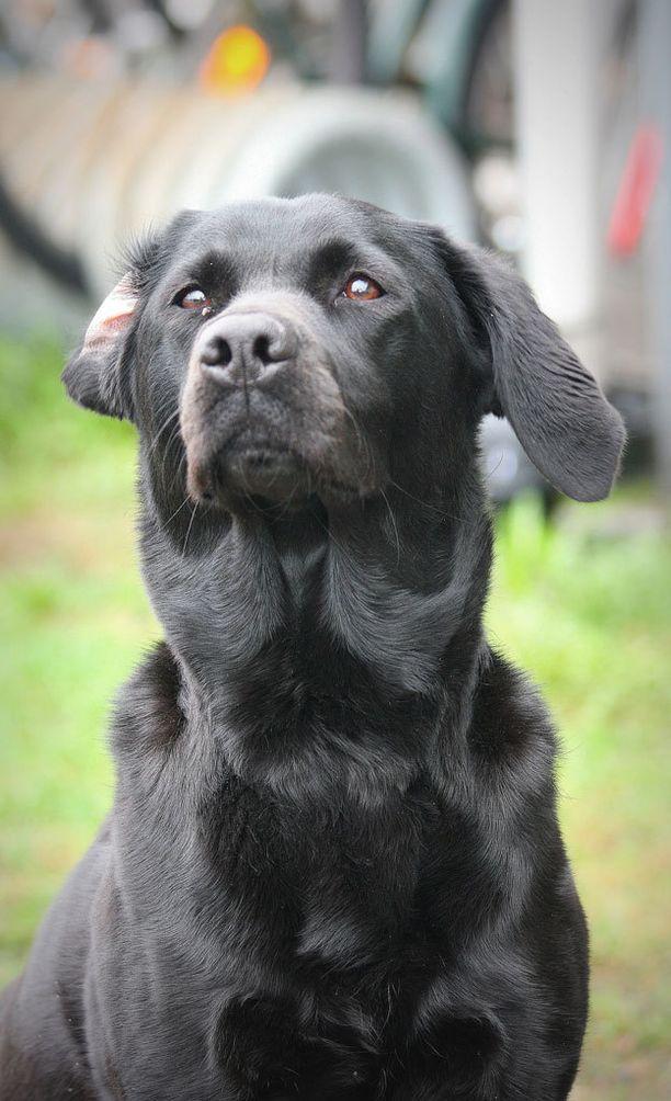 Trigger-koira on rodultaan labradorinnoutaja.