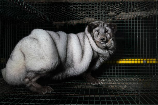 Oikeutta eläimille -järjestö on käynyt niin ikään kuvaamassa sinikettuja ja kritisoinut kettujen luonnotonta suuremman turkin vuoksi tehtävää jalostusta.