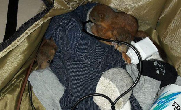 Repun sisällä olikin kolme oravapoikasta.