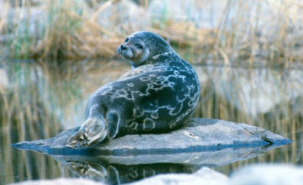 Saimaan Puruvedeltä löydettiin tänä keväänä pesälaskennoissa pitkästä aikaa saimaannorpan kuutti. Kuvituskuva vuodelta 2012.