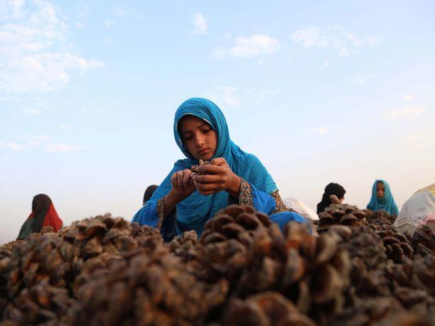 Tyttö keräsi pinjansiemeniä Nangarharin provinssissa. Afganistan on eräs maailman suurimmista kuivattujen hedelmien ja pähkinöiden tuottajista. Arkistokuva viime vuoden lokakuulta.