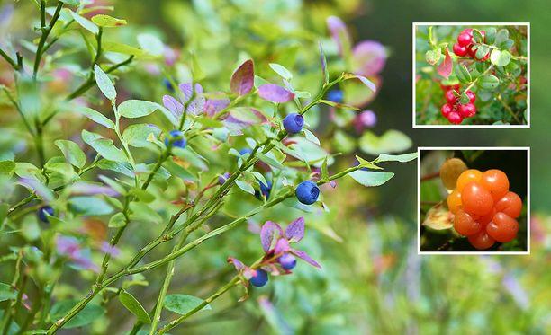 Lakan eli hillan kukkia on havaittu runsaasti tai erittäin runsaasti etenkin Pohjois-Karjalan ja eteläisen Lapin alueella.