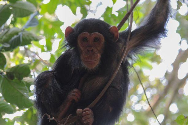 Gomben kansallispuisto on tunnettu paikkana, jonne simpanssitutkija Jane Goodall perusti tutkimuskeskuksensa.